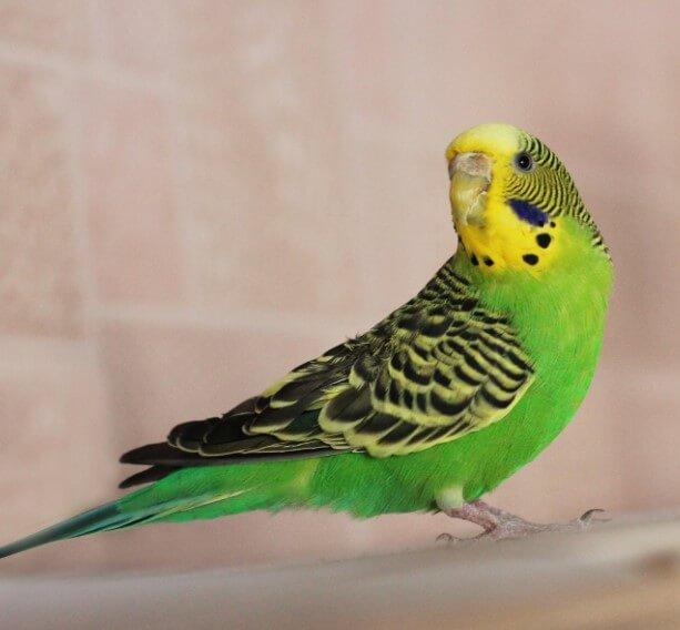 açık yeşil muhabbet kuşu