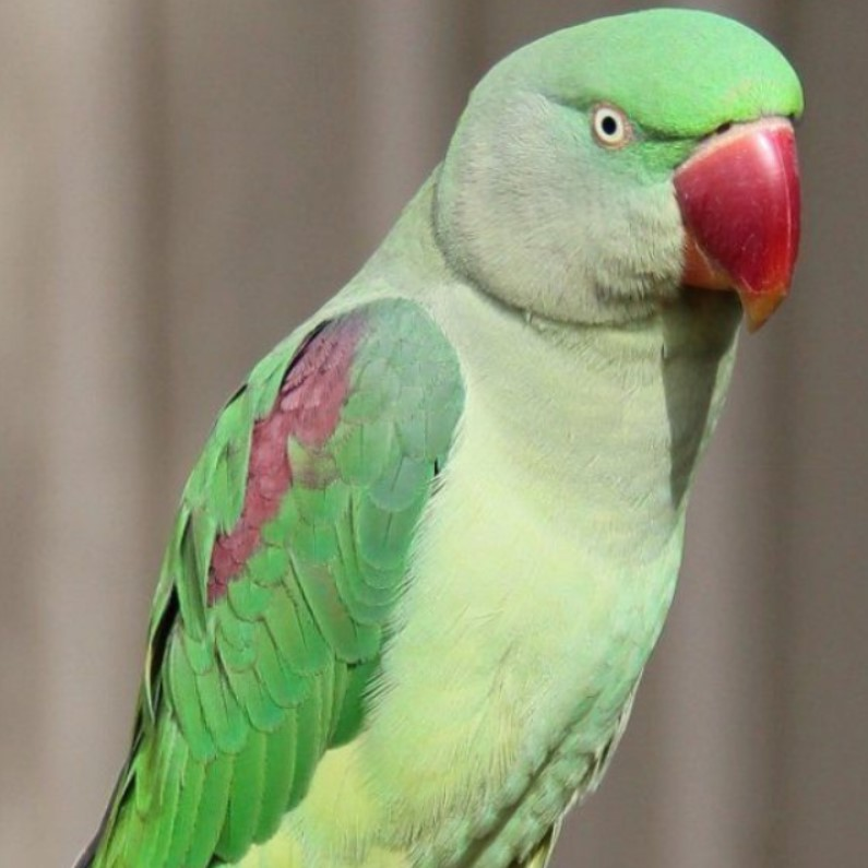 alexander papağanı
