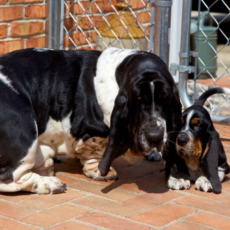 basset hound bakımı