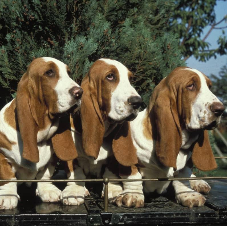 basset hound köpek ırkı