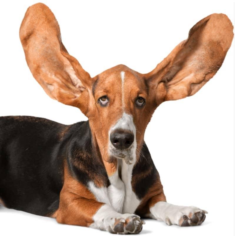basset hound özellikleri