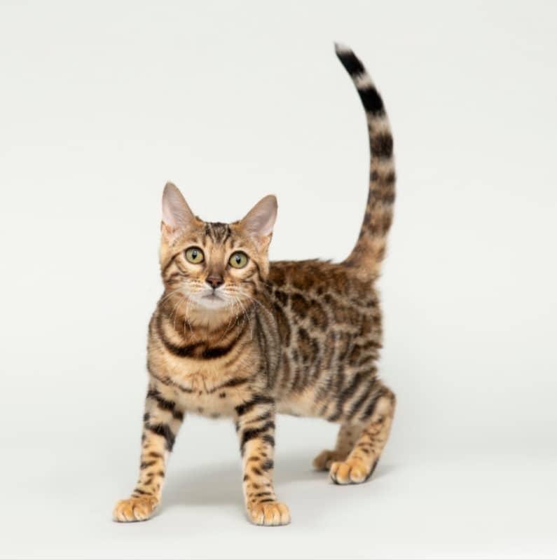 bengal kedisi bakımı