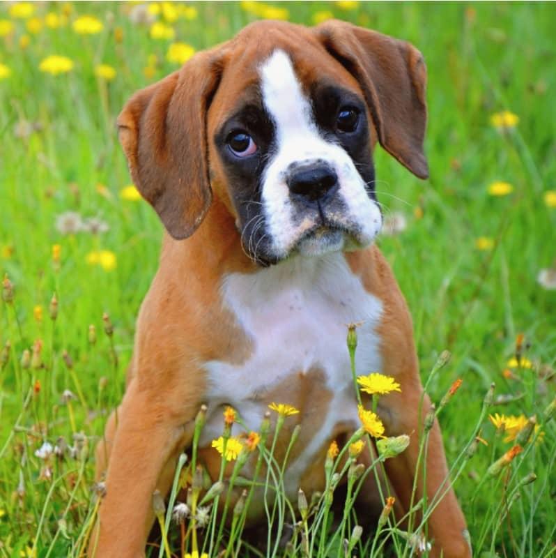 boxer köpek özellikleri