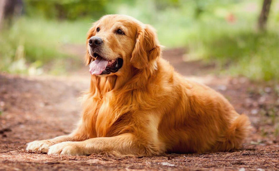 büyük ırk köpek isimleri
