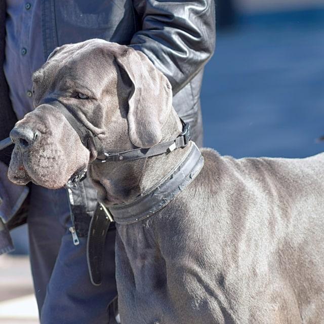 dünyanın en büyük köpekleri