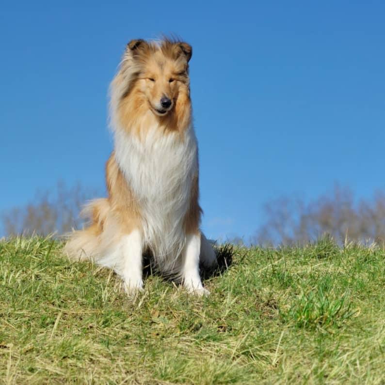 collie köpek ırkı