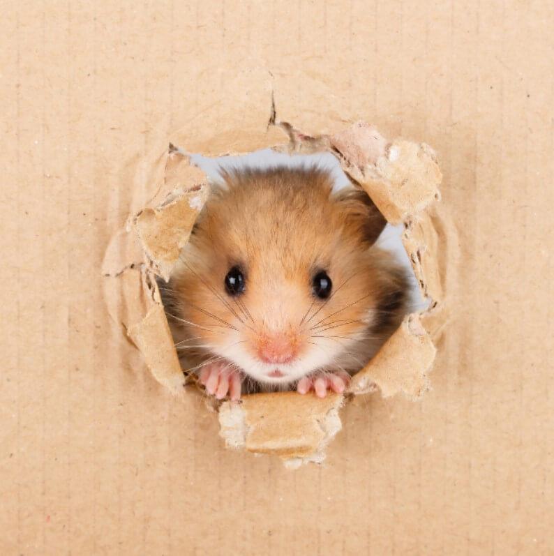 hamster cinsleri