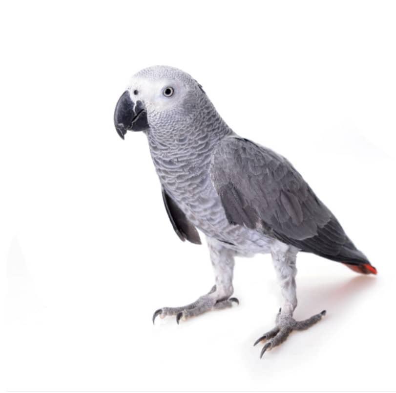 jako papağanı bakımı