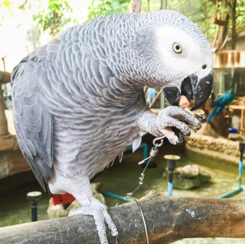 jako papağanı özellikleri