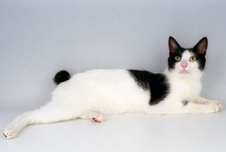 Japanese bobtail kedi