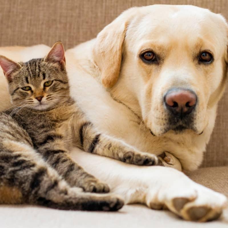 kedi-labrador