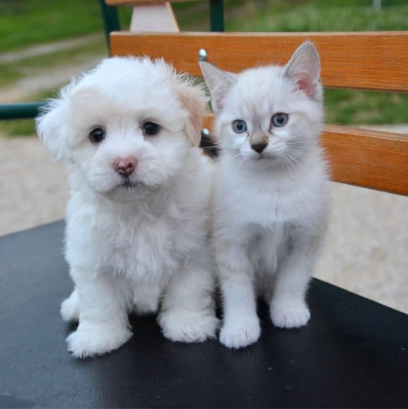 kedi-maltese