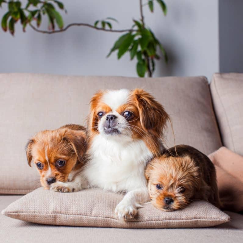 küçük ırk köpek isimleri