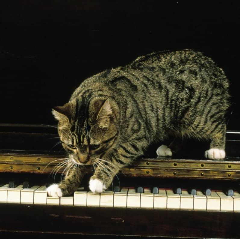 manx kedisi bakımı