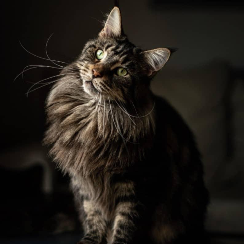 manx kedisi özellikleri