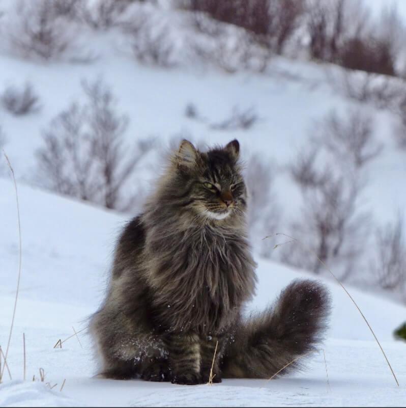 norveç orman kedisi