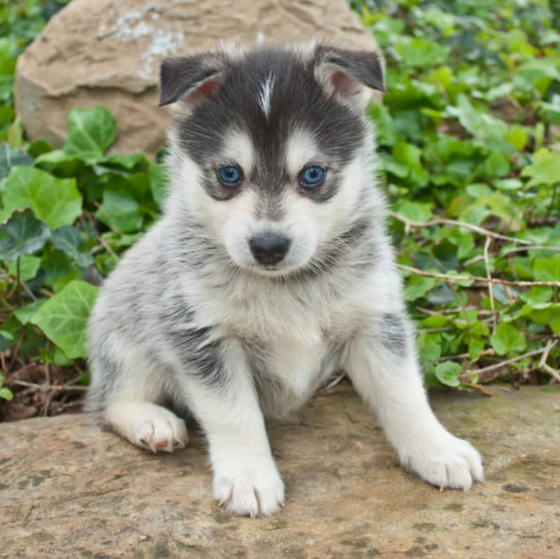 pomsky köpek ırkı
