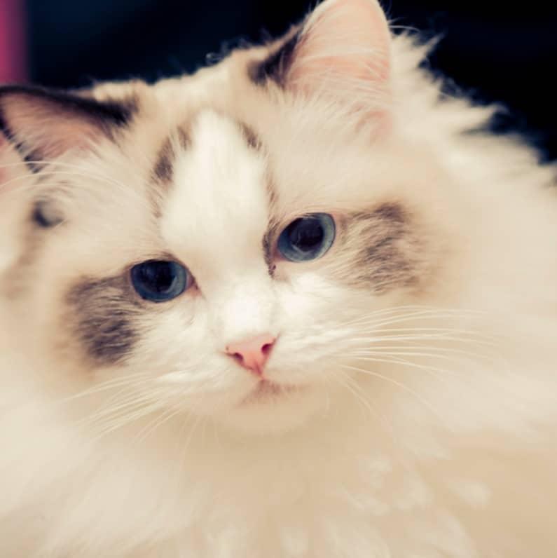 ragdoll kedisi bakımı