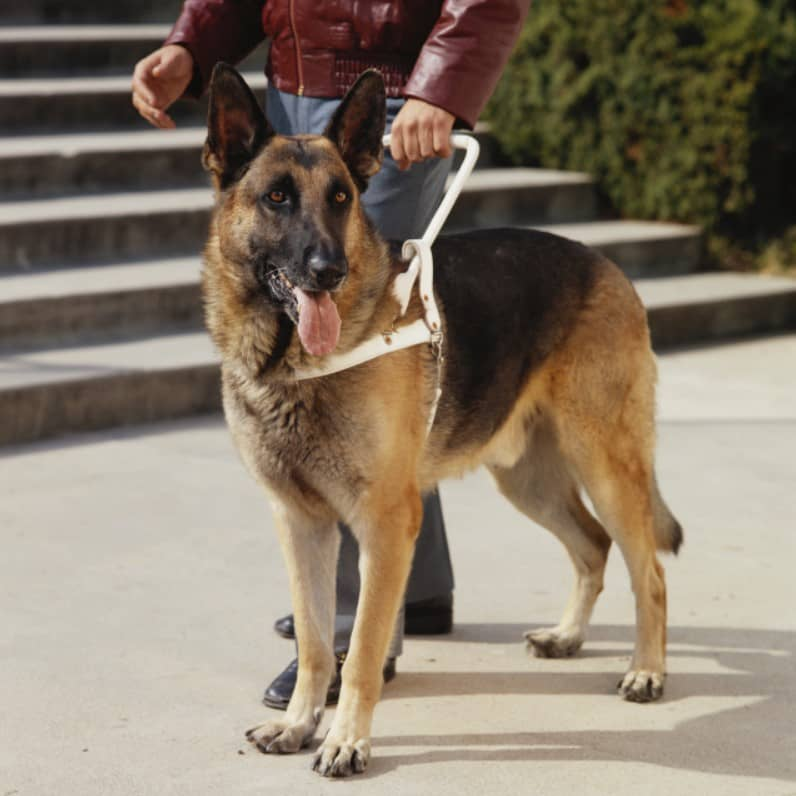 rehber köpek cinsleri