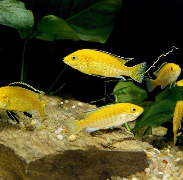 sarı prenses balığı