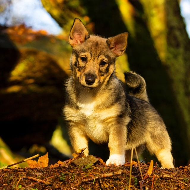 swedish vallhound