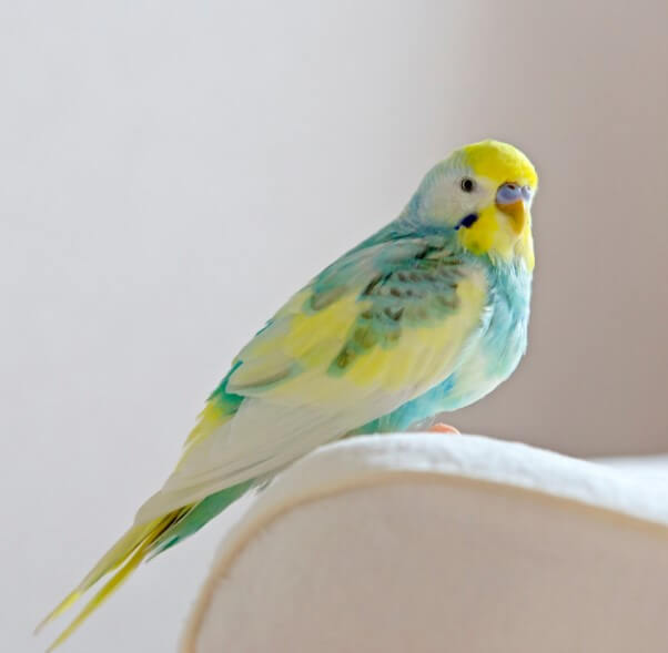 cekoslavak muhabbet kuşu