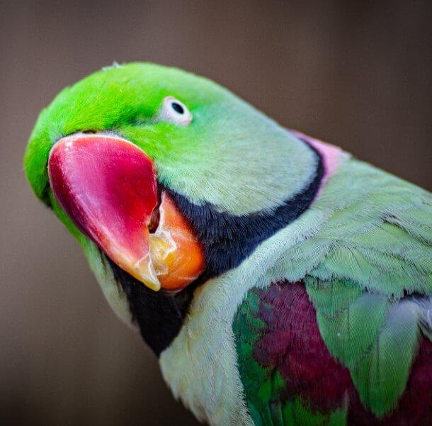 papagan turleri